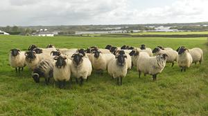Sticking together: A flock of Mayo Blackface hoggets near Tourmakeady, Co Mayo, ready for sale. Some 350 ewes and 1,000 hoggets will be offered for sale in Aurivo Mart, Ballinrobe, from 11am on Saturday Photo: Conor McKeown