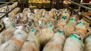 Moving on: This pen of 24 ram lambs, averaging 42.5kg, made €115 apiece at Dowra. Photo: Gerry Faughnan