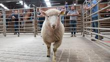A ram at Raphoe Mart Photo: Clive Wasson