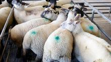 This pen of 11 lambs weighing 44.7kgs sold for €128/hd at Loughrea Mart