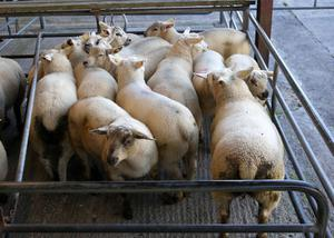 This pen of 13 lambs weighing 45.3kgs sold for  €127.00/hd at Loughrea Mart sheep sale