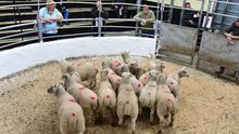 Changing hands: These 16 lambs averaging 33kg sold for €80 each at Tullow Mart