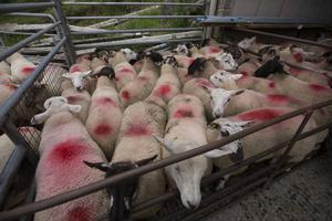 This mixed pen of 25 ewe and ram lambs, averaging 40.5kg, sold for €108.50 apiece at Dowra Mart