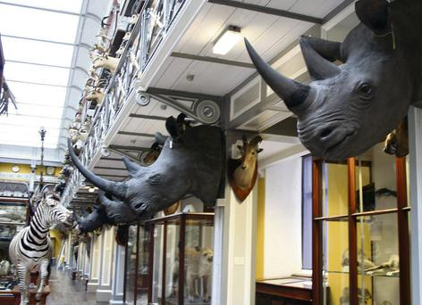 The four rhinoceros heads which were stolen from museum storage