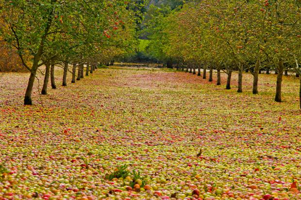 A carpet of fallen apples at the Bulmers factory orchard in Clonmel — Storm Ophelia blew the apples off the trees and flooding from Storm Brian swept them into a corner of the field. Picture by Jonathan Ryan