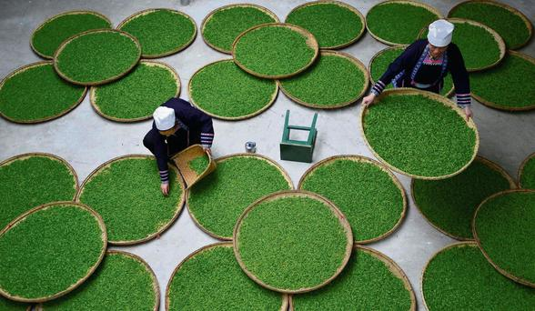 Ethnic Dong women work at a tea leaf processing factory in Guizhou province. Sheng Li