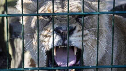 Welcome back: A lion in Dublin Zoo last week. Photo: Colin Keegan/Collins