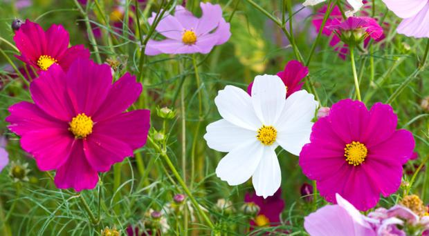 IN DEMAND: Cosmos brings summery airiness to the garden