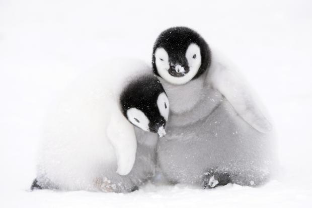 Feathered friends: Emperor penguins face the Antartic winter