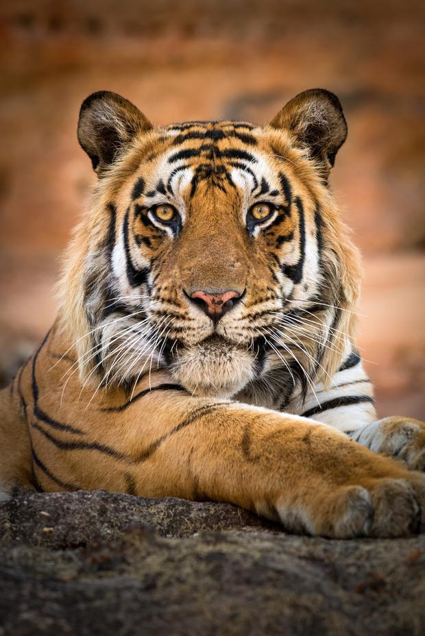 Tiger mom: The last episode of Dynasties follows the fate of a female tiger and her four cubs