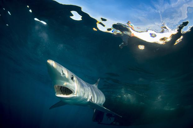 Call of the oceans: a blue shark. Photo by George Karbus