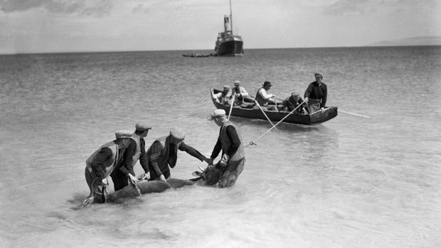 Aran Islands of old: a bullock being transferred via currach and then to the Galway-bound Dun Aengus ferry in the early 20th century