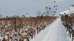 Big freeze: Inniskillin vineyard in Niagra Falls, Canada