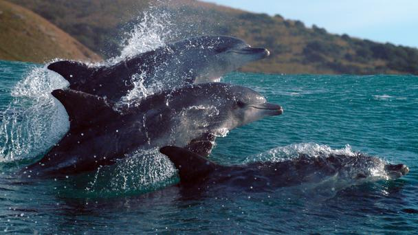 Dolphins in Blue Planet