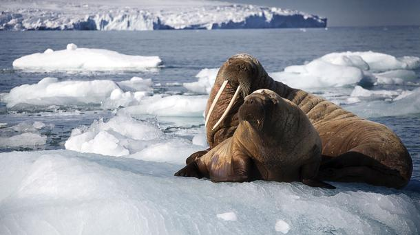 A scene from Blue Planet II, showing a walrus mother and her pup resting on an iceberg (PA)
