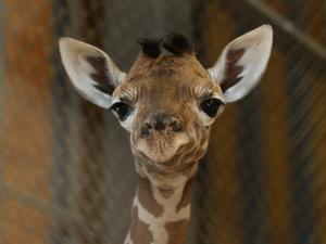 Controversy surrounds Copenhagen Zoo's decision to put down a healthy giraffe due to 'inbreeding' rules