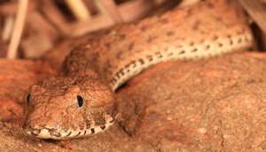 The snake is typically about 24 inches long, and is quite rare. Photo: Ryan Ellis, Western Australian Museum