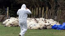 FARM Pigs Irish...Slaughtered sheep at a farm in Co Louth where Foot and Mouth was discovered for the first time in the Ireland, Thursday 22 March,2001. More animals are expected to be slaughtered as a precaution in the area.  PA Photo: Paul Faith....N