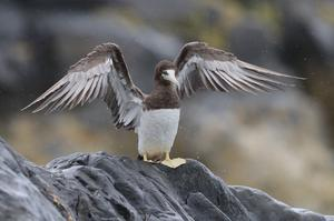 Good health: The brown booby spotted in Greystones, Co Wicklow, yesterday. Photo: Nick Bradshaw
