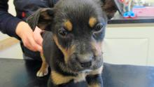 Puppies were rescued and brought to ISPCA branch in Cork (Photo: ISPCA)