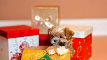 Shorkie Puppy in Christmas Present