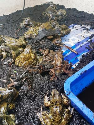 Frogs rescued by the charity from an underground shopping car park in Finchley, London. PRESS ASSOCIATION