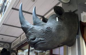One of the four rhino heads with two horns each that were targeted during the raid on a museum storage facility