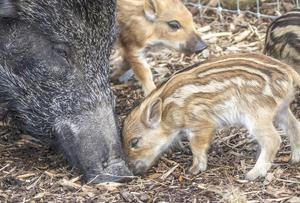 Two of the six boarlets born at Wild Ireland pictured with their mum  (North West Newspix)
