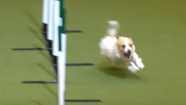 Jack Russell Terrier Olly stole the show on Friday at Crufts