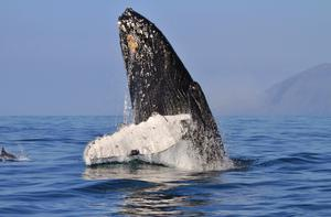 Humpback Whales off the coast of Ireland. Credit: Eire Fhiain / TG4