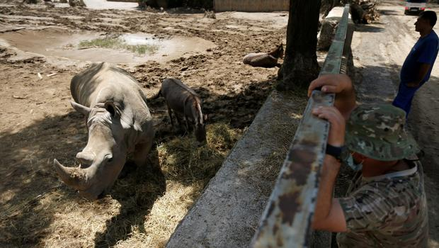 Rescue workers watch a rhinoceros and donkeys inside their enclosure at a zoo in Tbilisi, Georgia, June 17, 2015. Tigers, lions, bears and wolves were among more than 30 animals that escaped from a Georgian zoo and onto the streets of the capital Tbilisi on Sunday during floods that killed at least 12 people. REUTERS/David Mdzinarishvili