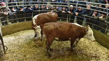 Hereford HFR. Weight 5-00 Kg. Age 24 /23 Months. Sold for €860 euro each.