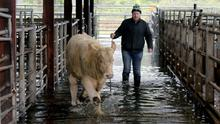 Floods due to heavy rain over night forced Loughrea Mart, Co. Galway to cancel their show and sale this Saturday. The Sale will take place on next Saturday the 23ed. In picture mart manager Jimmy Cooney rounds up a heifer to a dry place in the mart. Photograph: Hany Marzouk