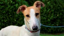 'Too many people just don't realise what good pets Greyhounds make' - ISPCA Chief Inspector Conor Dowling