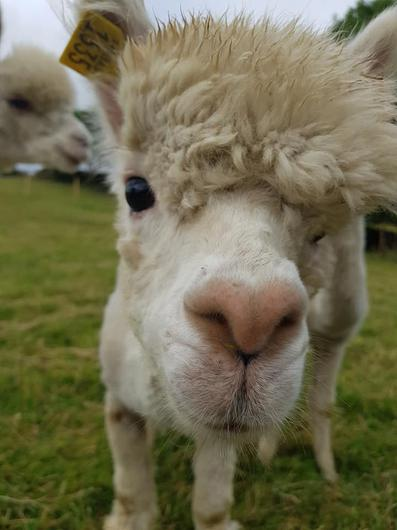 The 'Ultimate Alpaca Experience' is a two hour experience that allows people to enjoy a gentle walk with the alpacas. Photo: Curraghduff Farm