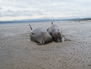The northern bottlenose whales became stranded on Rossnowlagh Beach yesterday in Donegal