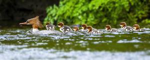 A goosander duck parades her large brood of chicks. Photo: John Murphy Photography