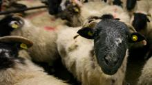 Tough times: Sheepmeat prices have plummeted in the past week in response to the Covid-19 crisis. Photo: Brian Farrell