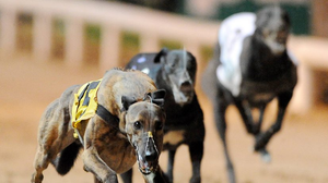 Knight Tornado is favourite to land the €20,000 Juvenile Derby at Shelbourne Park. (stock photo)