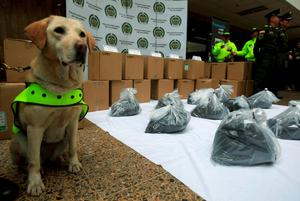 Mona, a Colombian drug-sniffer dog, stands guard next to packs of cocaine at the police building during a photo opportunity to the media in Bogota, Colombia September 7, 2015. Police in Colombia and Mexico have seized more than two tonnes of cocaine after a drug-sniffing dog alerted authorities in Bogota to the narcotics, which had been dyed black and falsely registered as an ingredient in printer cartridges, the Colombian police said on Monday.  REUTERS/ John Vizcaino