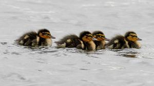 A brood of ducklings (David Jones/PA)