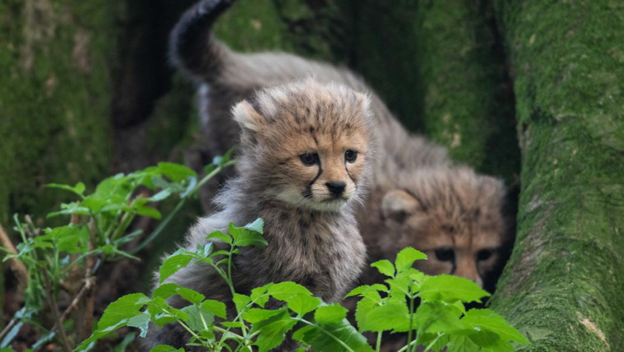 Baby cheetahs help boost visitor numbers at Fota