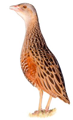 Conservationists are battling to save the corncrake Stock photo: Depositphotos