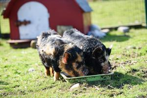 Kunekune Pigs at the Salthill Cabin open farm outside Mountcharles, Co. Donegal.   Photo Clive Wasson