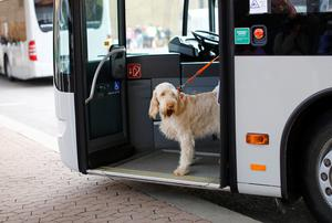 A dog arrives on a bus for the first day of the Crufts Dog Show in Birmingham Photo: REUTERS/Darren Staples