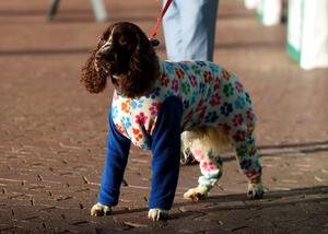 Reuben the Springer Spaniel waits outside in his onesie before day one of Crufts 2015  Photo: Joe Giddens/PA Wire