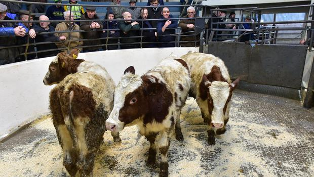 Three and easy: These February 2019-born Simmental-cross weanlings, weighing 280 Kg, sold for €620/hd at Kilcullen Mart. Photo: Roger Jones