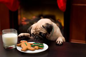 Puppy stealing Christmas cookies