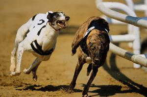 Newline Mo has a good chance in the last of the second round heats of the Red Mills/NTSC Open Unraced Bitch Stake at Newbridge this evening (Stock photo)