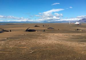 Some dozens of long-finned pilot whales lay dead on a remote beach in Iceland. Picture: David Schwarzhans via AP